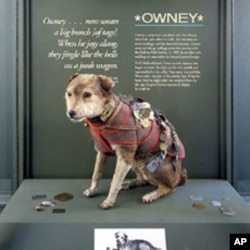 Here's Owney, before his recent makeover, after a taxidermist was through with him, wearing many of the tags his human pals gave him.