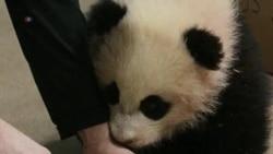 Panda Cub Bao Bao Growing Normally
