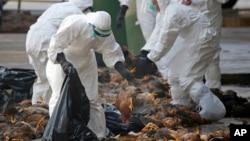 Tư liệu- Nhân viên y tế trong trang phục bảo hộ đang thu gom gà chết.