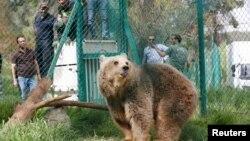 Lola sang beruang, satu dari dua hewan yang berhasil bertahan di kebun binatang Mosul, bersama dengan Simba sang singa, tampak di kandang di lokasi perlindungan setelah tiba di perlindungan rehabilitasi satwa di Jordania, dalam foto yang diambil tanggal 11 April 2017 (foto: REUTERS/Muhammad Hamed)