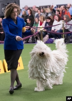 Nina Fetter presents Betty Boop, a Komondor, in the ring during the 141st Westminster Kennel Club Dog Show, Feb. 14, 2017, in New York.