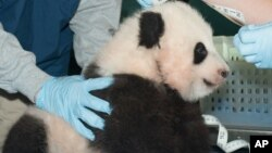Bao-Bao, le bébé né au zoo ''Smithsonian National Zoo'' de Washington, la capitale américaine