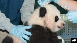 Bayi panda raksasa diukur saat berusia 100 hari di Kebun Binatang Nasional Smithsonian di Washington (29/11). (Foto: Kebun Binatang Smithsonian)