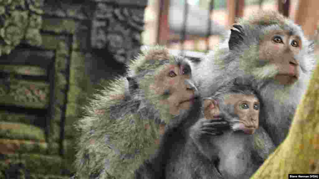 A family of long-tailed macaques at the Sacred Monkey Forest Sanctuary in Ubud, Bali, Indonesia.