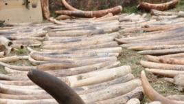 Sừng tê giác bị Interpol tịch thu.