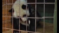 Panda rescatado y en cuidado.