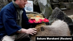 A zookeeper pats a capybara as he prepares to give the capybaras some vegetables at Izu Shaboten Zoo in Ito, Japan February 1, 2020.