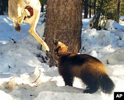 A remote camera photo of a wolverine attracted by a lure set up by biologists in the Okanogan National Forest.