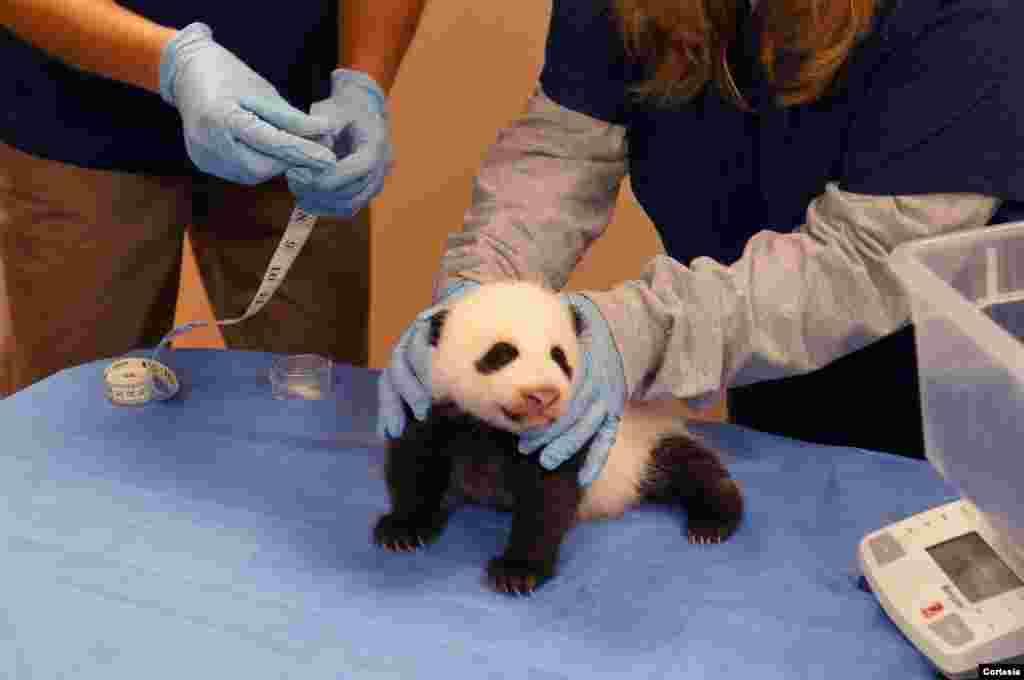La evolución del cachorro es monitoreado de cerca por los veterinarios porque los pandas es una especie en extinción que requieren especial cuidado.