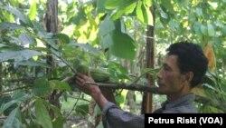 Buah kakao yang merupakan tanaman hutan bukan kayu, menjadi salah satu manfaat yang diperoleh Kasdi dan masyarakat Desa Rempek (Foto: VOA/Petrus)
