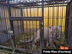 Seekor macan tutul yang berhasil diamankan Kepolisian daerah Riau dari upaya penyelundupan satwa langka, Minggu, 15 Desember 2019. (Foto: Polda Riau)