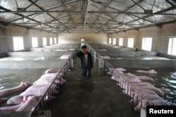 一个农民的养猪场被洪水淹没,他眼看着饲养的6000头猪被淹没不禁哭起来(2016年7月4日)