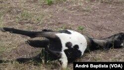 Cabrito morto devido à poluição mineira, Moçambique