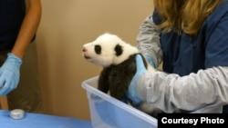 熊貓美香有待取名字的幼崽。(10月17日資料照片)
