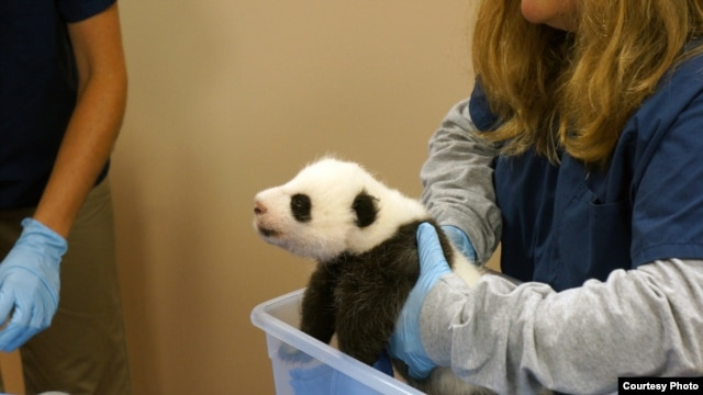 Giant Panda Cub Update: Smithsonian's National Zoo, Oct. 17, 2013. Photo: Bill Clements, Smithsonian's National Zoo