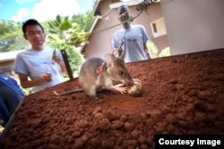 African giant pouched rats are trained to detect landmines by using their extraordinary sense of smell.