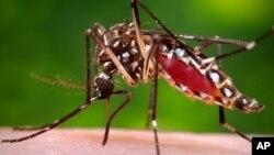 پشۀ ایدیس مصری که گمان می رود ناقل ویروس زیکا باشد.