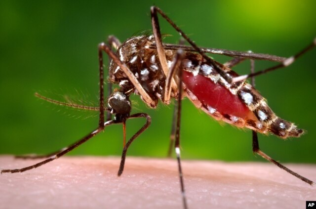 FILE - This photo from the Centers for Disease Control and Prevention shows a female Aedes aegypti mosquito. The Zika virus is spread through mosquito bites from Aedes aegypti and causes only a mild illness in most people.