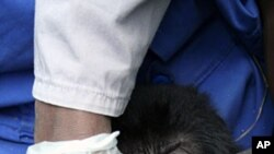 A handout out photo released on August 9, 2011 by the Mountain Gorilla Veterinary Project shows a member of staff taking samples from a stolen infant mountain gorilla at an orphan care facility for gorillas in Kinigi