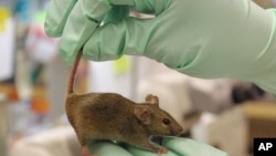 A protein found in young mice, which is also found in humans, formed new blood vessels and improved blood flow in older mice.