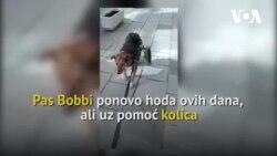 Pas Bobbi, kojem je čovjek uništio kičmu, uz pomoć kolica ponovo uči da hoda