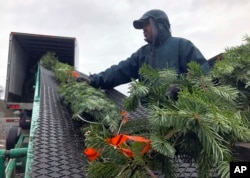 In this November 2018 photo, Felipe Delgado, an employee at Silver Bells Tree Farm in Silverton, Ore., loads Christmas trees onto a conveyor belt and into a semi-trailer for transport to Los Angeles and San Diego, where they will be sold at tree lots. (AP Photo)