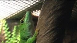 گونه جديدی از مارمولک در ايران کشف شده است