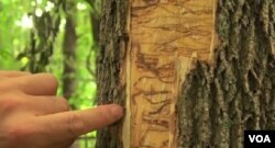 FILE - The larvae of the emerald ash borer devastate trees across the U.S.