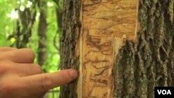 圖為綠甲蟲在白蠟樹皮下鑽出一個個扭曲的小洞﹐也在樹皮裂縫中產卵。