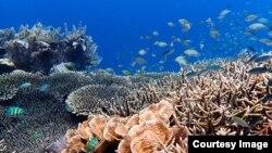 Sekelompok ikan berenang di kawasan Great Barrier Reef. (Foto: Tim Gordon, University of Exeter).