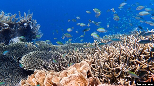 A school of damselfish on a coral reef in Australia's northern Great Barrier Reef. Image Credit: Tim Gordon, University of Exeter