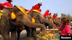 Lễ hội Voi Toàn quốc hàng năm nhằm quảng bá sự quan trọng của voi.