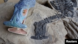 A fossil of Atopodentatus unicus is seen alongside a reconstruction showing what it would have looked like in life is shown in this image released May 6, 2016. (Courtesy: Nick Fraser/National Museums Scotland)