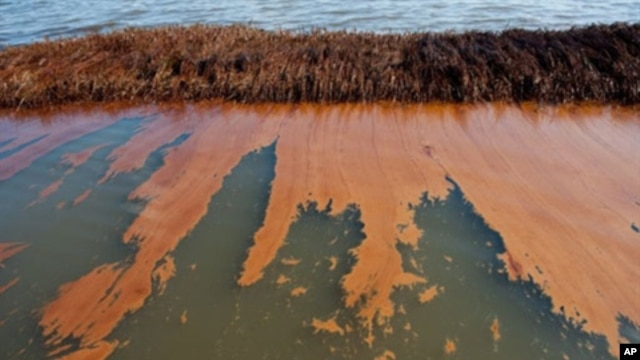 Oil from the BP Deepwater Horizon oil spill coats marsh wetlands in Bay Jimmy near Port Sulphur, Louisiana, 11 Jun 2010 (file photo).