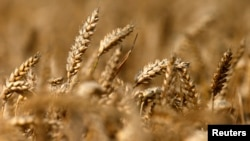FILE - A field of unharvested wheat.