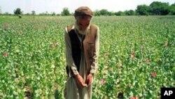 بلند رفتن قیمت تریاک در افغانستان
