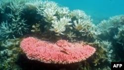 澳大利亚海洋科学研究所的照片显示大堡礁珊瑚白化
