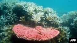 FILE - This undated photo from the Australian Institute of Marine Science shows bleaching on a coral reef at Halfway Island in Australia's Great Barrier Reef.