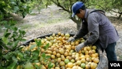Muchos mexicanos se han visto atraídos por las oportunidades de empleos agrícolas en Florida.
