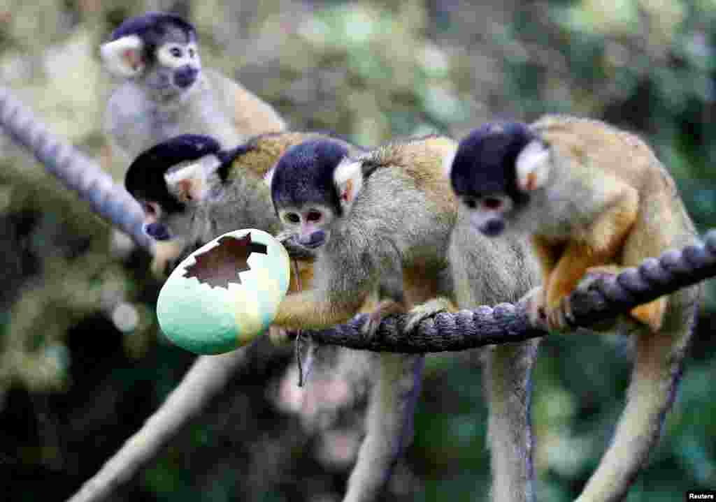 Black capped squirrel monkeys are fed treats from a papier-mache Easter egg at ZSL London Zoo.