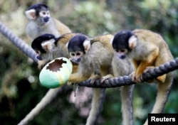 Black-capped squirrel monkeys are fed treats from a papier-mache Easter egg at ZSL London Zoo in London, Britain, April 18, 2019. (Reuters/Peter Nicholls)