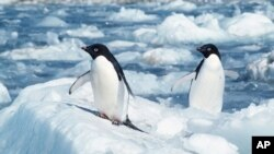 (File) Penguins in the Antarctic's Cape Royds. A plan to protect in the Southern Ocean and Ross Sea has failed.