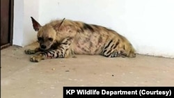 Striped hyena Pakistan