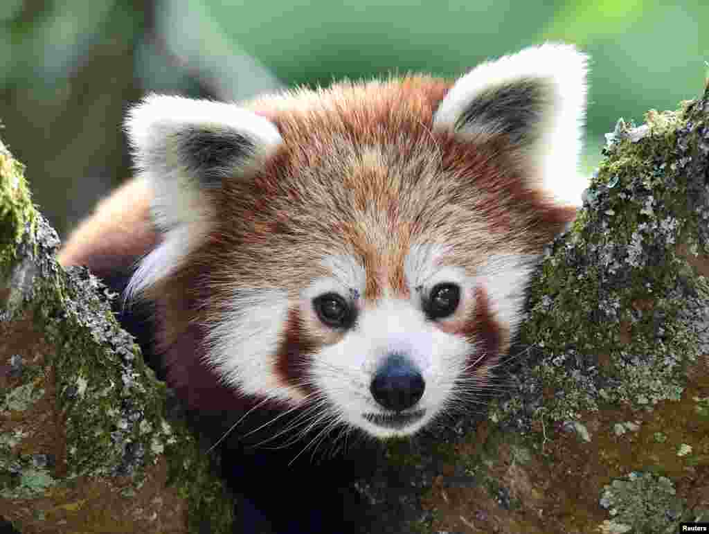 A one-year old Red Panda sits in the trees at the Manor Wildlife Park, St Florence, near Tenby in Wales, United Kingdom.