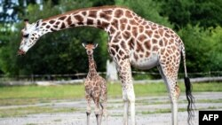 FILE - Chester Zoo's newest baby giraffe, Kidepo, steps out for the first time with his mother, Orla, at Chester Zoo in Chester, north west England, Aug. 3, 2015.
