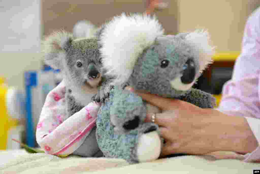 "This handout photo received from the Australia Zoo shows Shayne, a nine-month-old orphaned baby koala who has found solace cuddling a fluffy toy koala in the absence of his dead mum, as he recovers from the trauma of her death. The baby was taken to the Australia Zoo Wildlife Hospital, run by the family of ""Crocodile Hunter"" Steve Irwin."