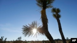 FILE - The sun sets behind joshua trees in Joshua Tree National Park, Jan. 16, 2013, near Twentynine Palms, Calif.
