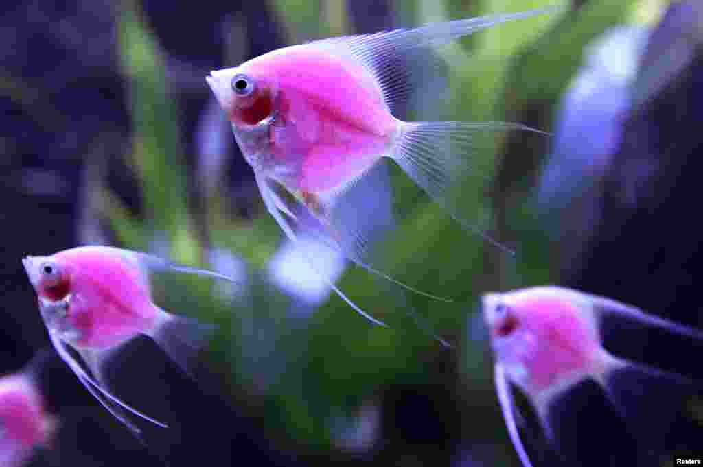 Genetically-engineered fish (Pterophyllum Scalare var.) glow in a tank during the 2014 Taiwan Aquarium Expo in Taipei.