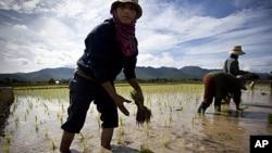 Thai farmers plants a rice crop near Mae Sariang, Thailand (2010 file photo)