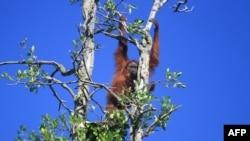 印尼的濒危动物红毛猩猩